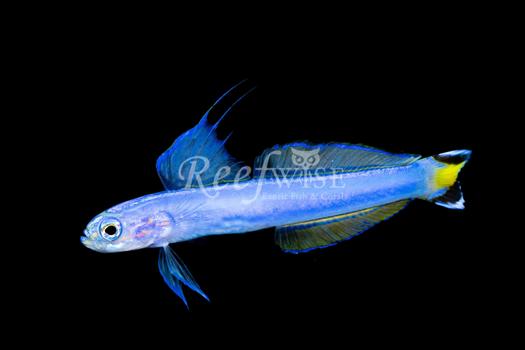 Flagtail Dartfish Goby