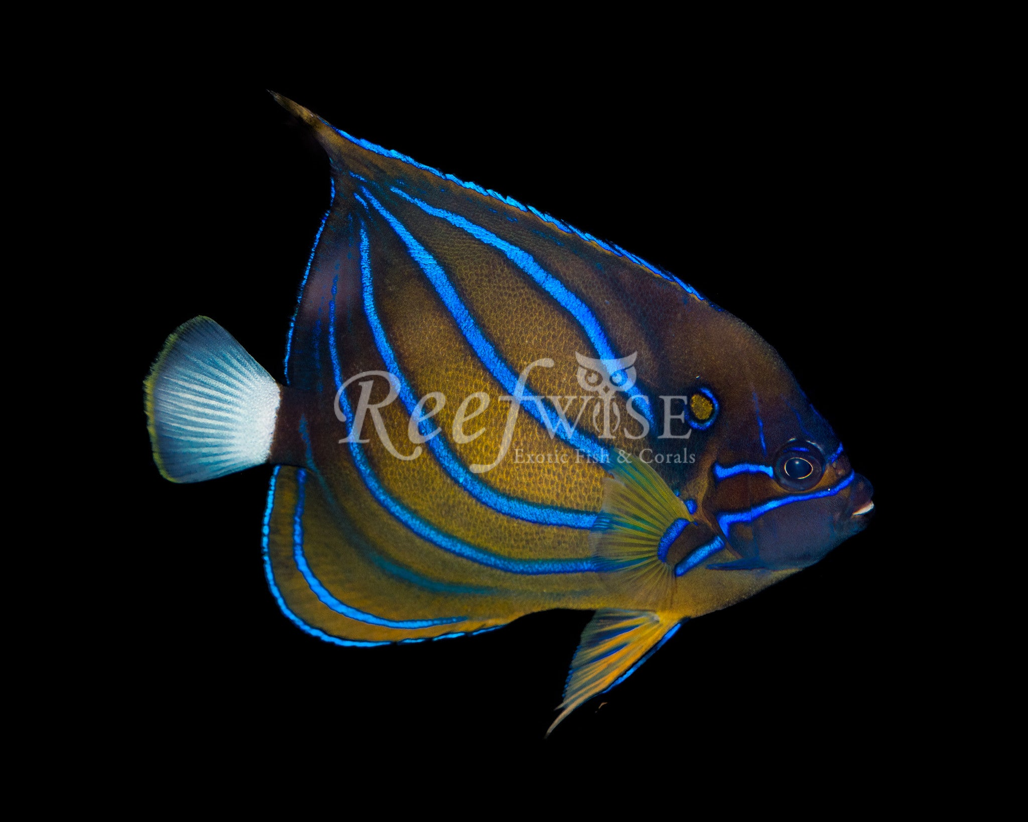 Blue Ring Annularis Angelfish WYSIWYG