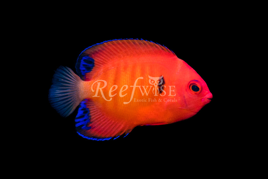 Solar Flare Flame Angelfish