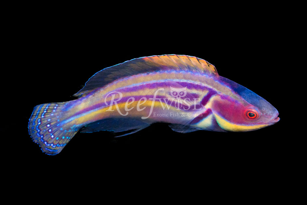 Laboutei Fairy Wrasse Super Male WYSIWYG