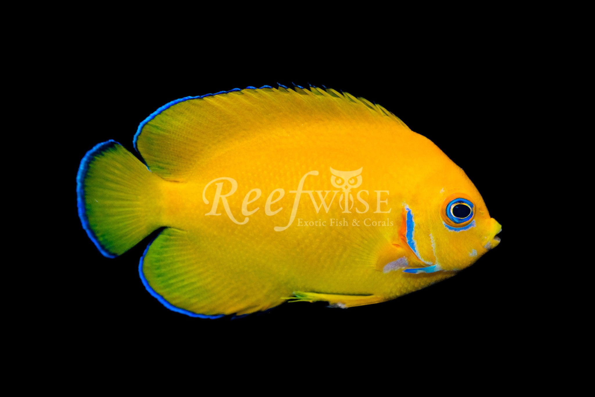 Cocos Lemonpeel Angelfish WYSIWYG 1