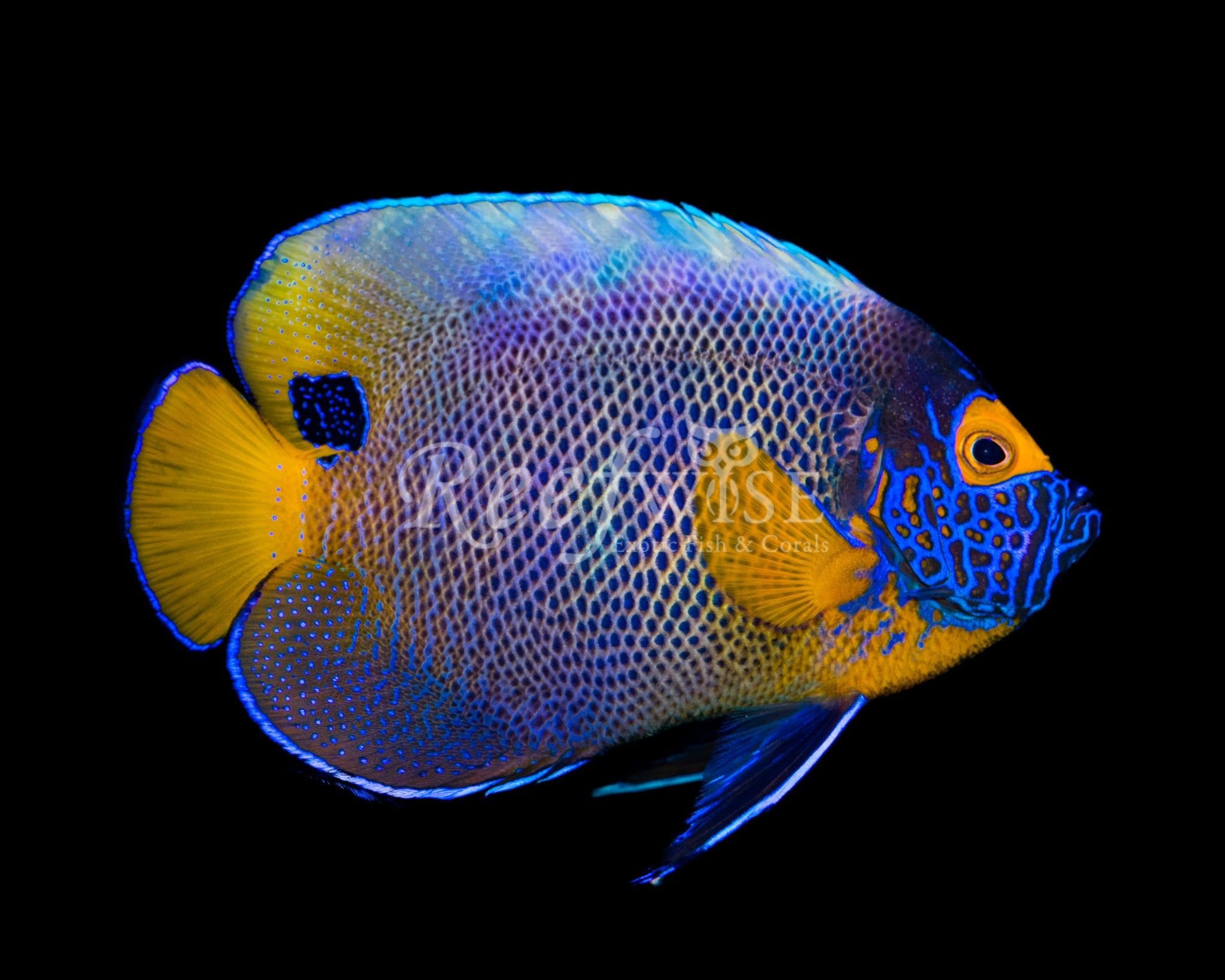 Blueface Angelfish WYSIWYG 1