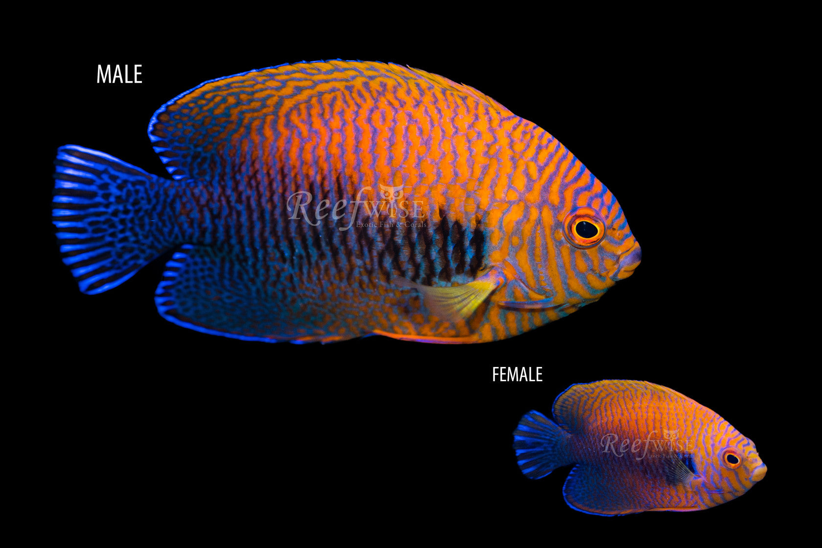 Potters Angelfish (Mated Pair) - Reefwise