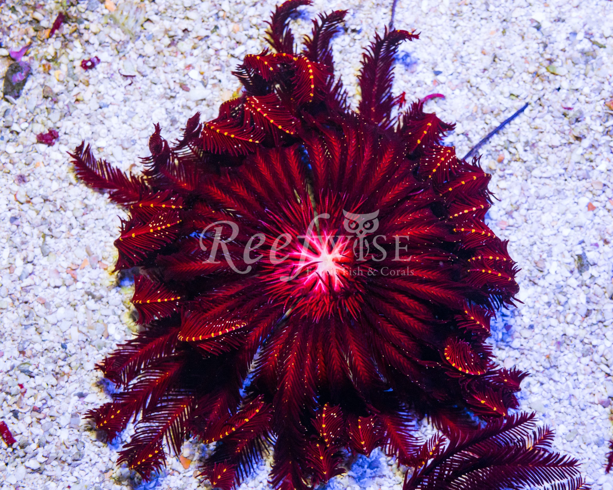 Red Crinoid Feather Star
