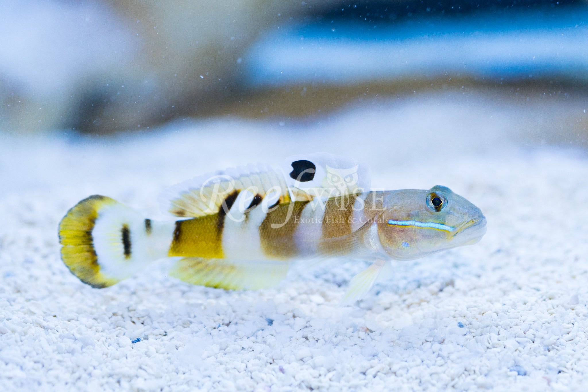 Tiger Wardi Goby