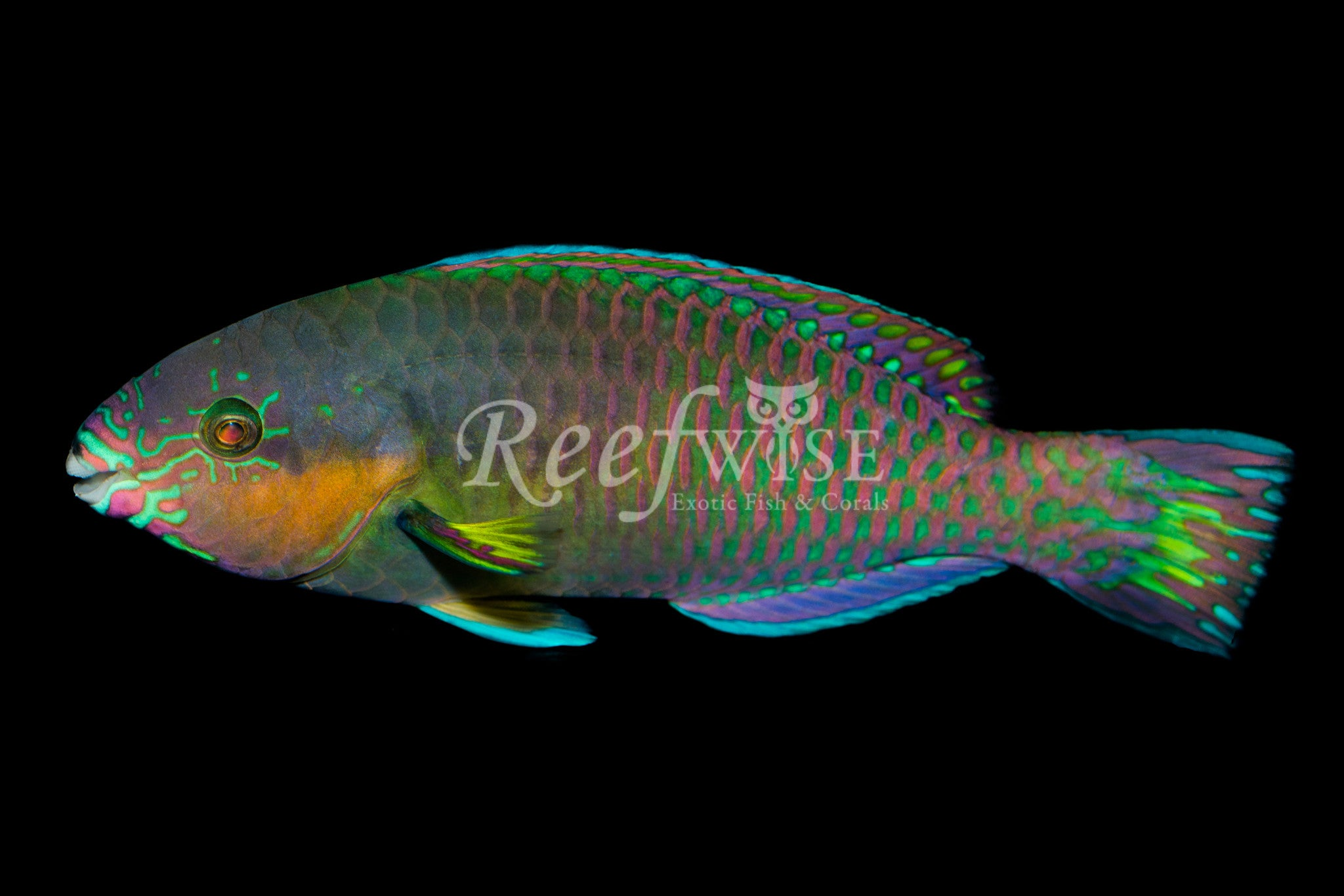 Surf Parrotfish Supermale WYSIWYG