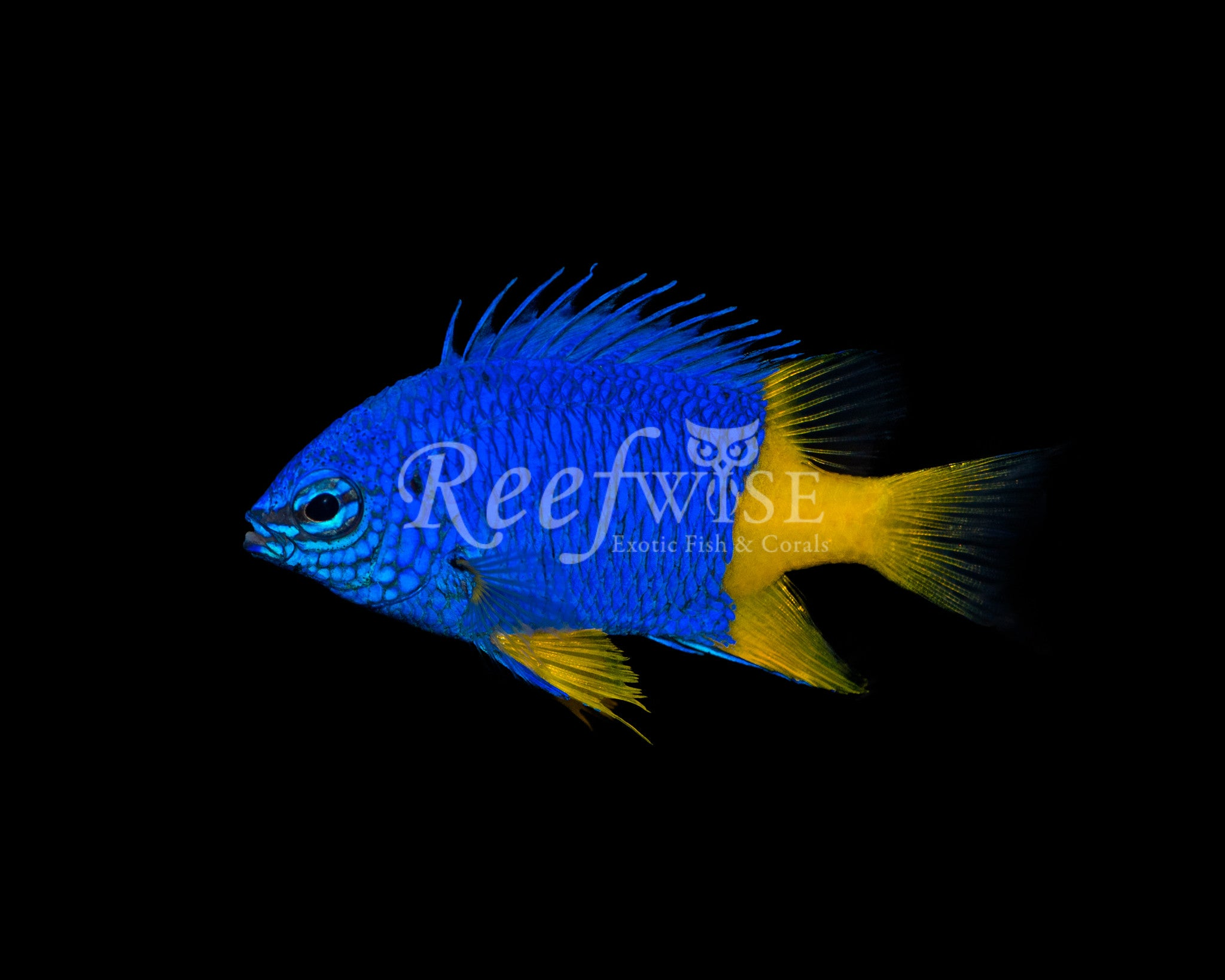 Arnazea Half Yellow Damselfish