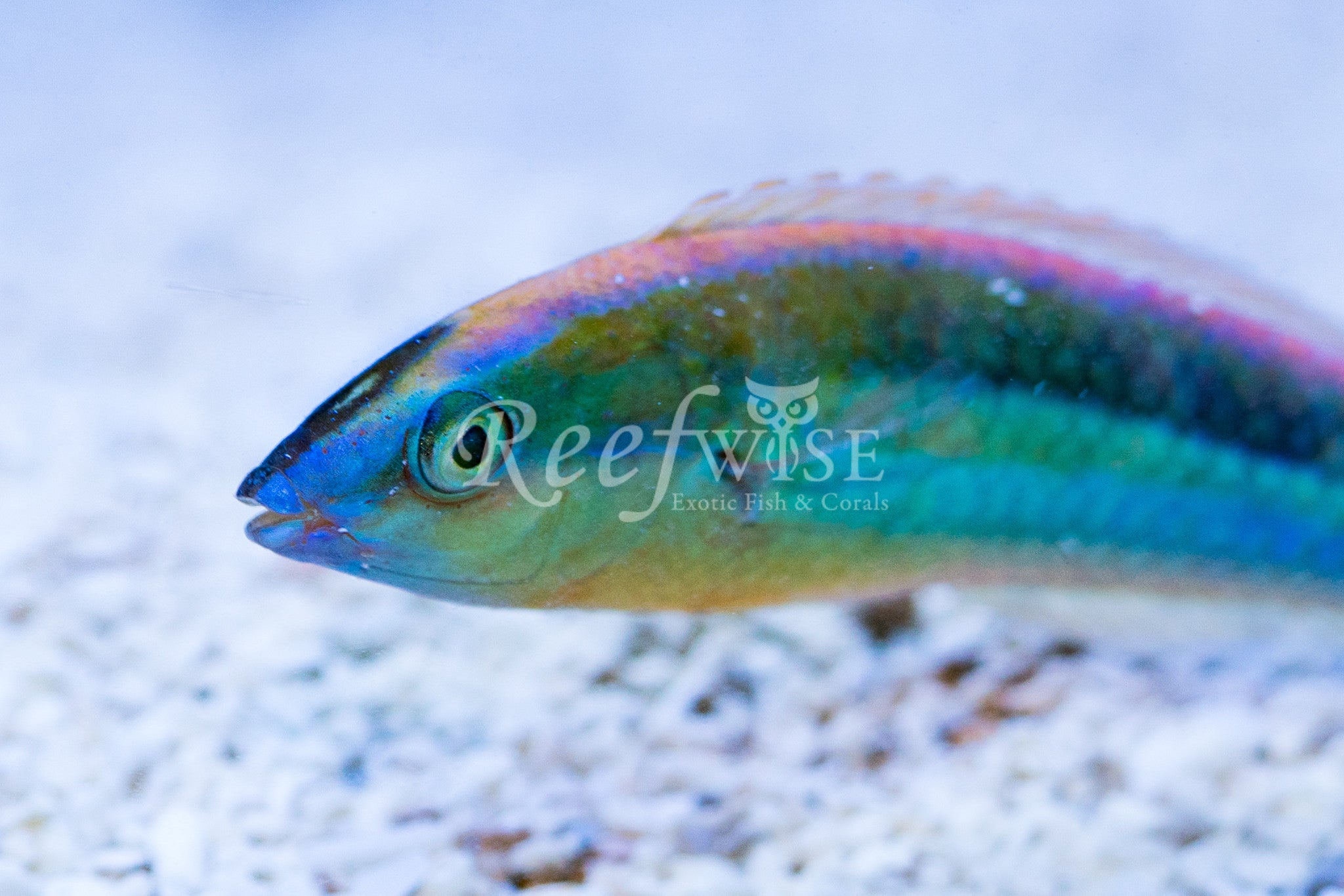 Kaleidos Blue Nose Pencil Wrasse Male