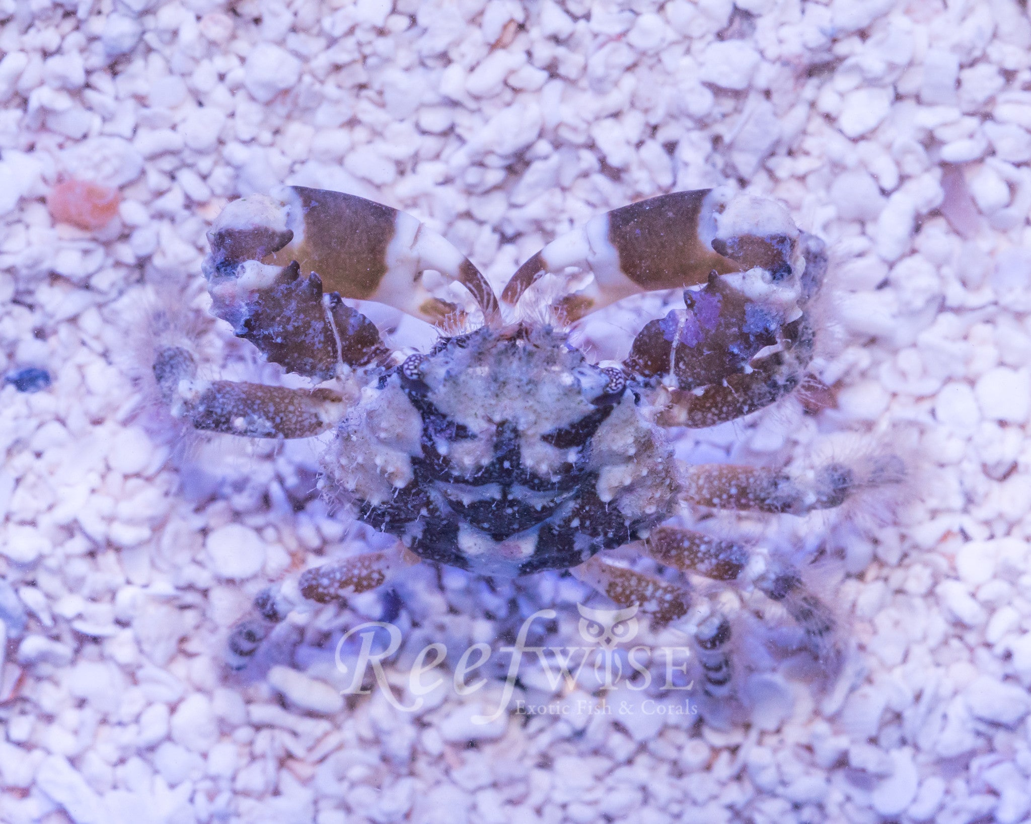 Harlequin Emerald Crab