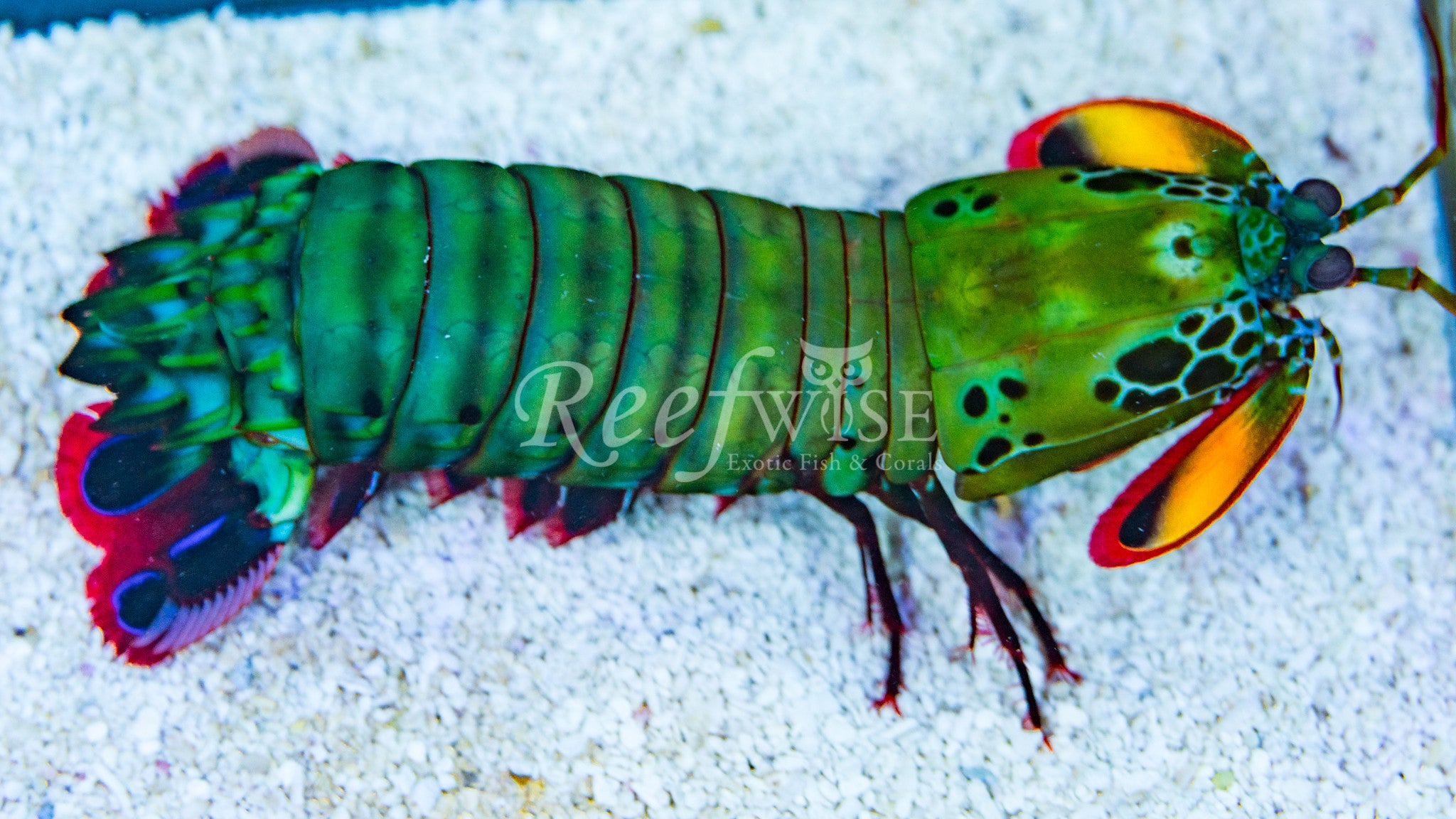 Peacock Mantis Shrimp M