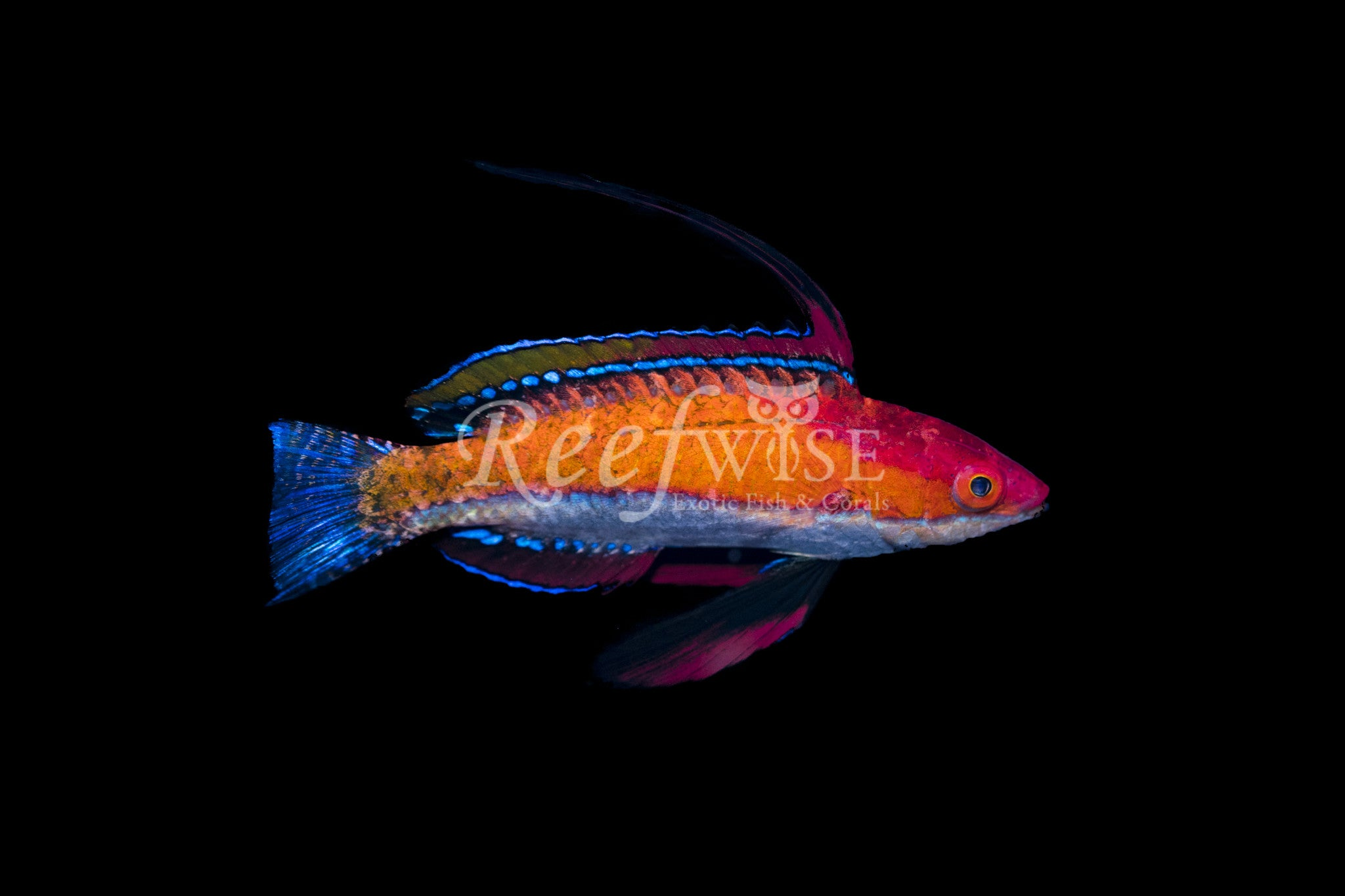 Rubriventralis Social Fairy Wrasse
