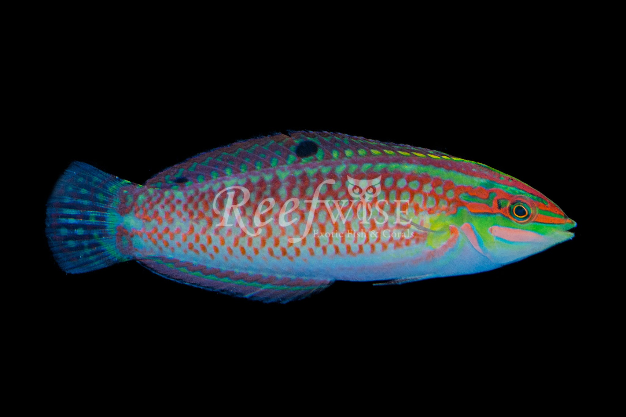 Christmas Wrasse Hawaiian