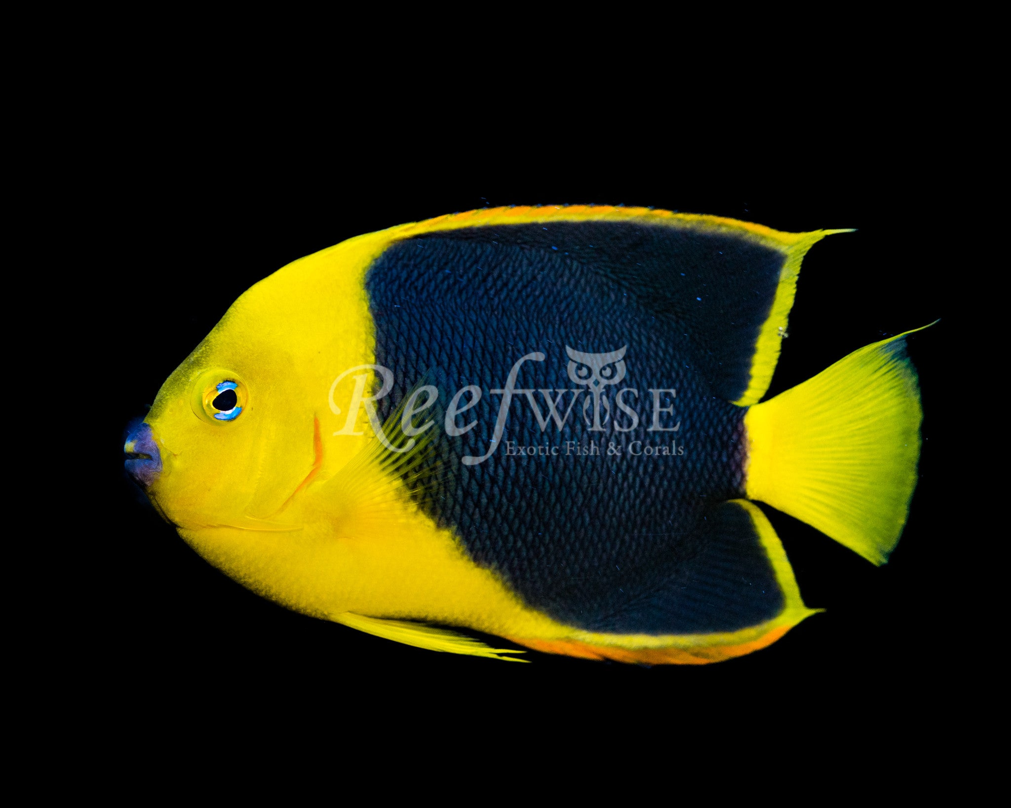 Rock Beauty Angelfish WYSIWYG