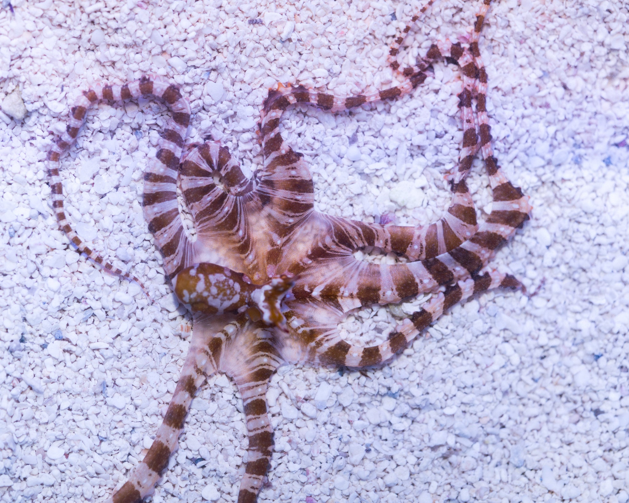 Wunderpus Mimic Octopus F