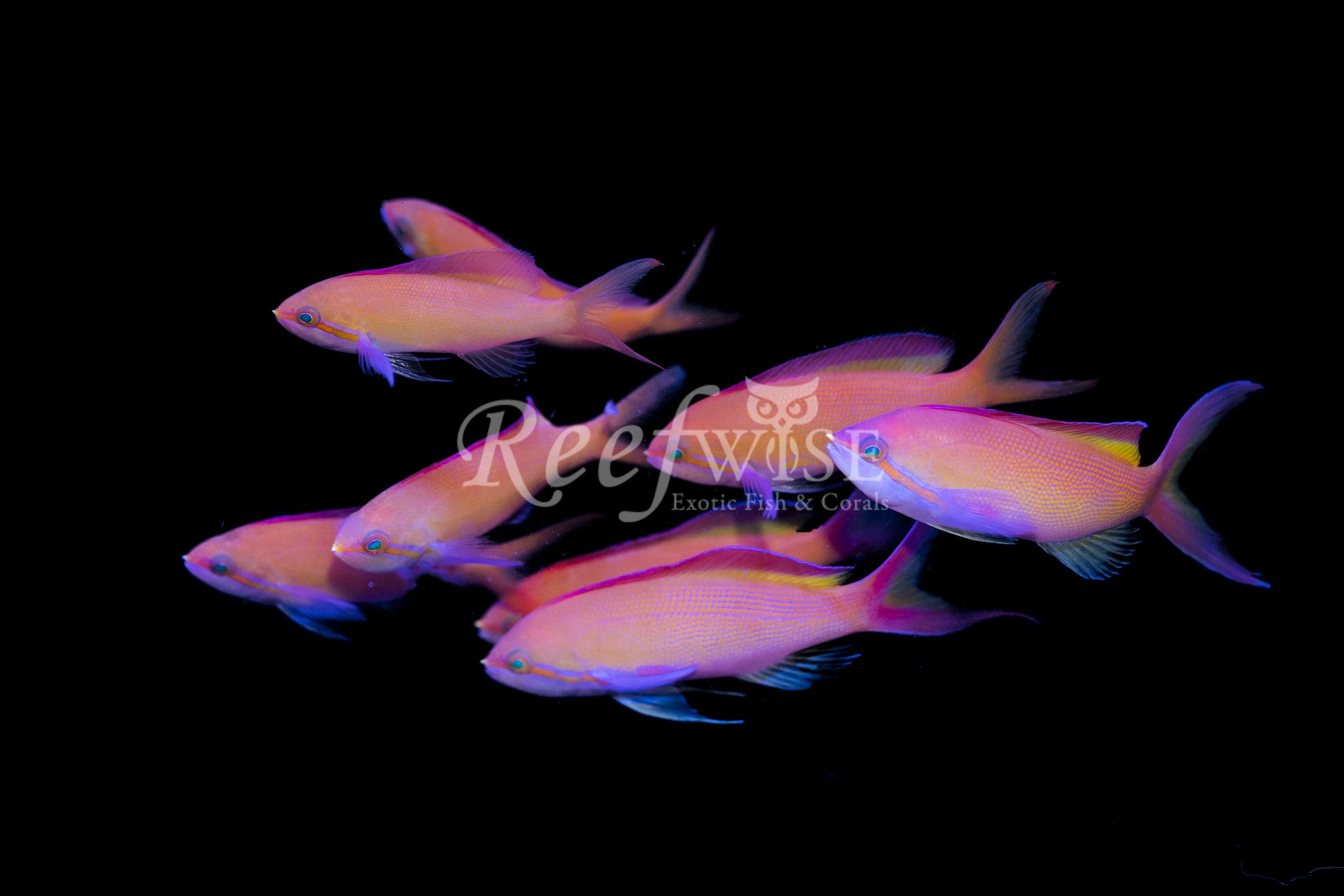 Carberryi Threadfin Anthias