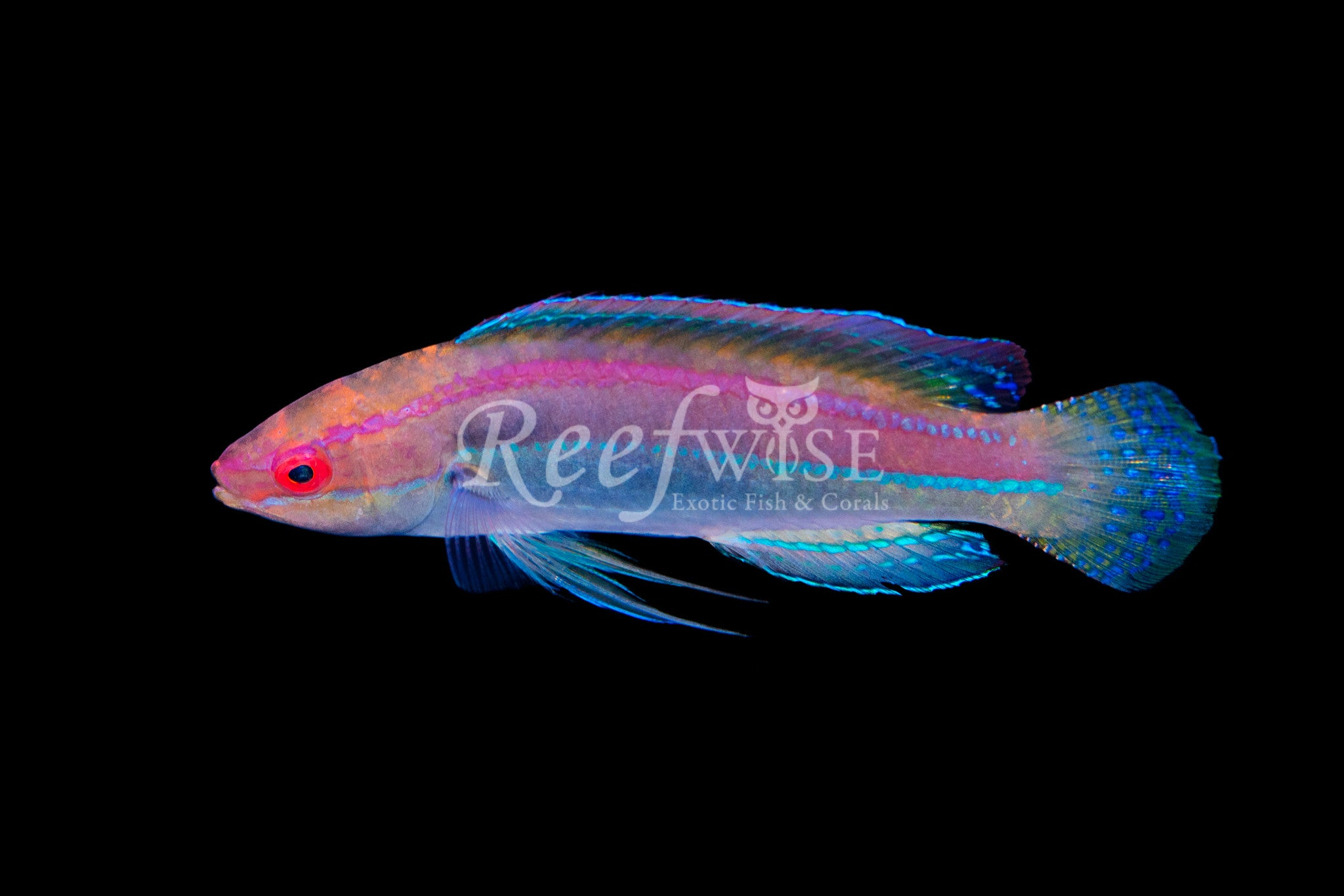 Temminckii Fairy Wrasse West Australian