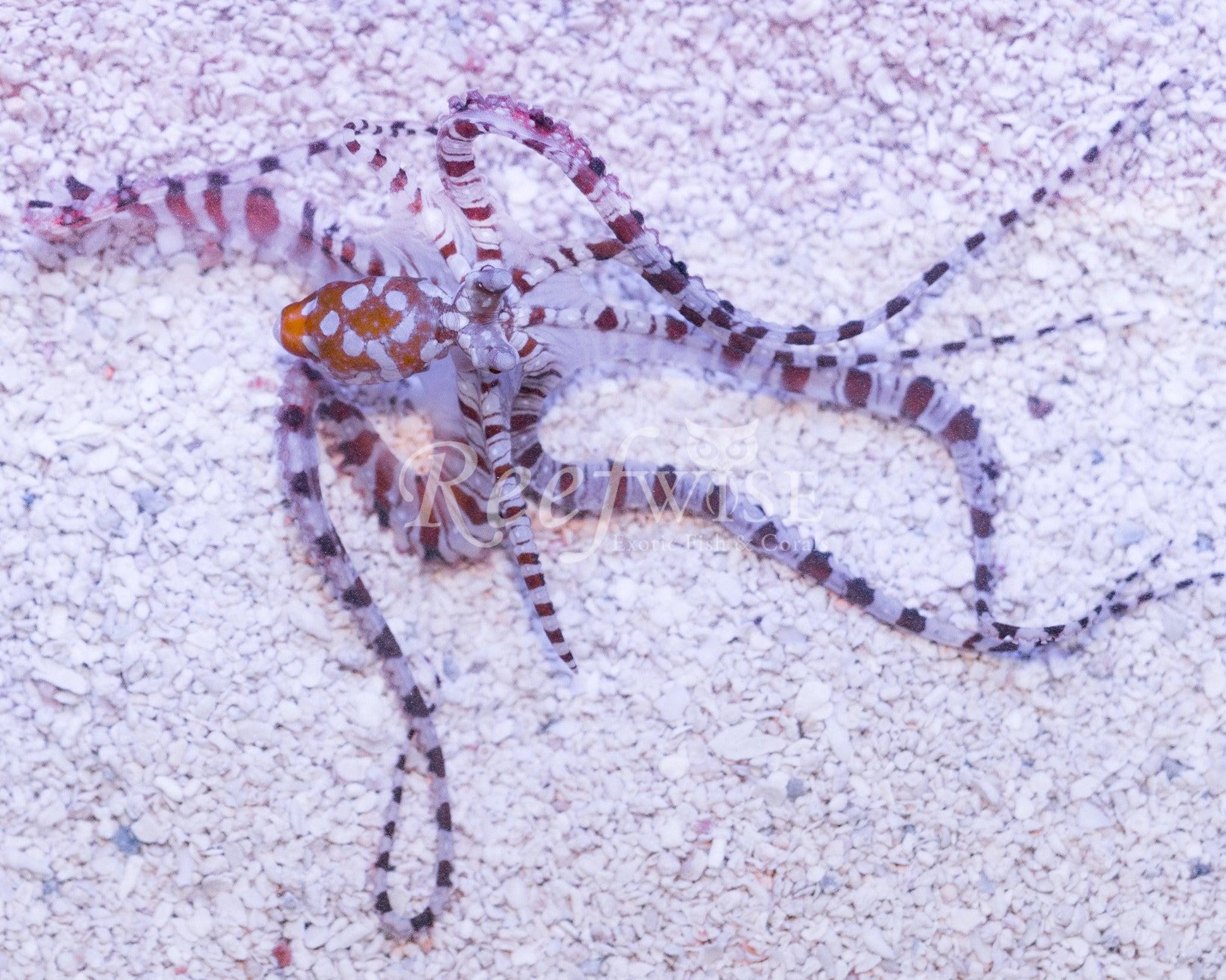 Wunderpus Mimic Octopus M