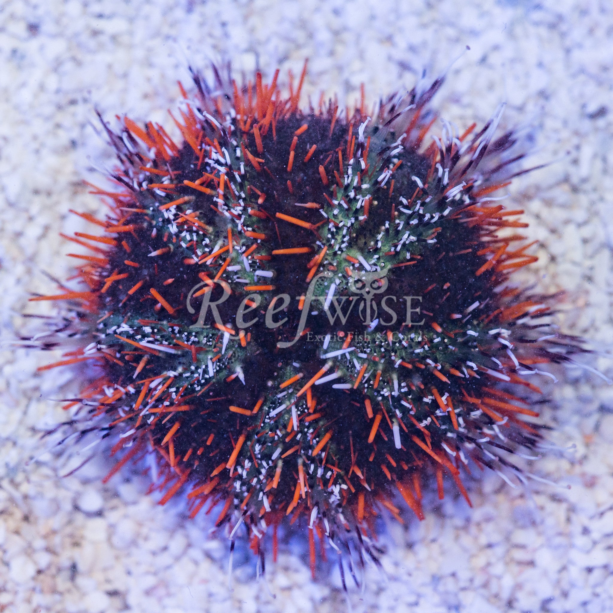 Orange Halloween Urchin