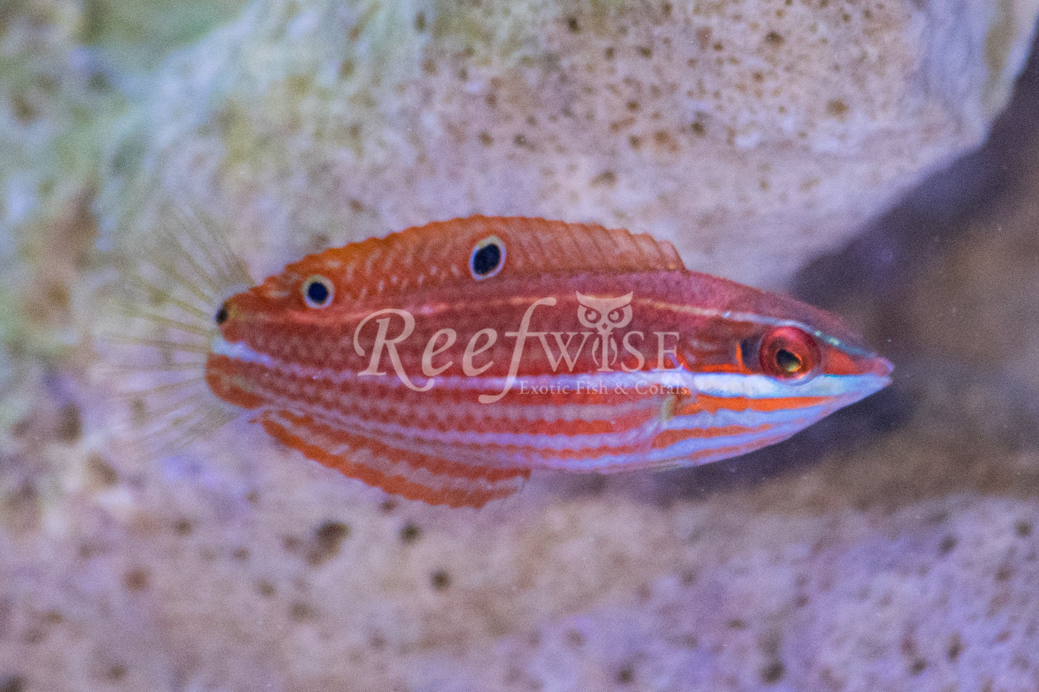 False Eye Christmas Wrasse