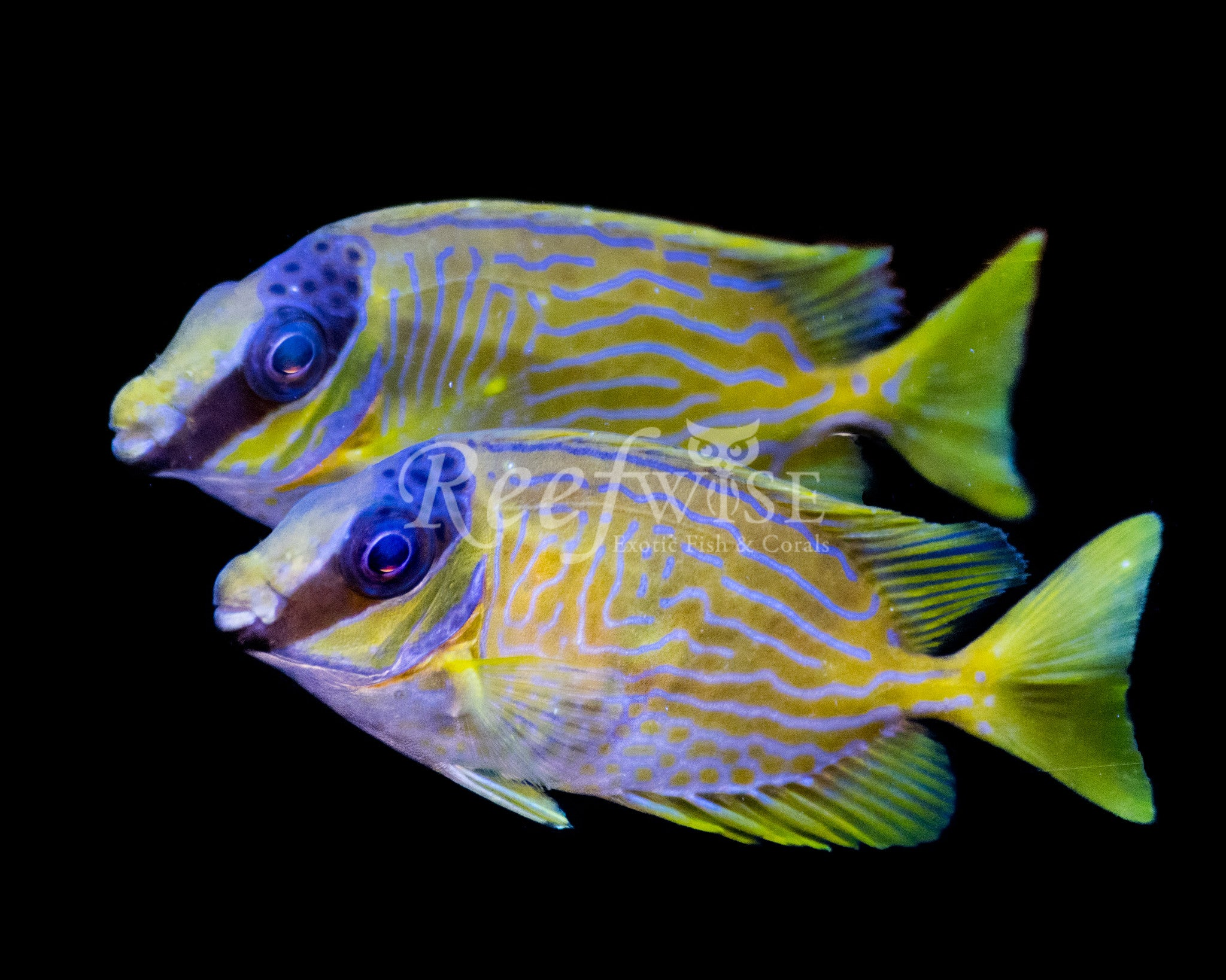 Masked Foxface Rabbitfish