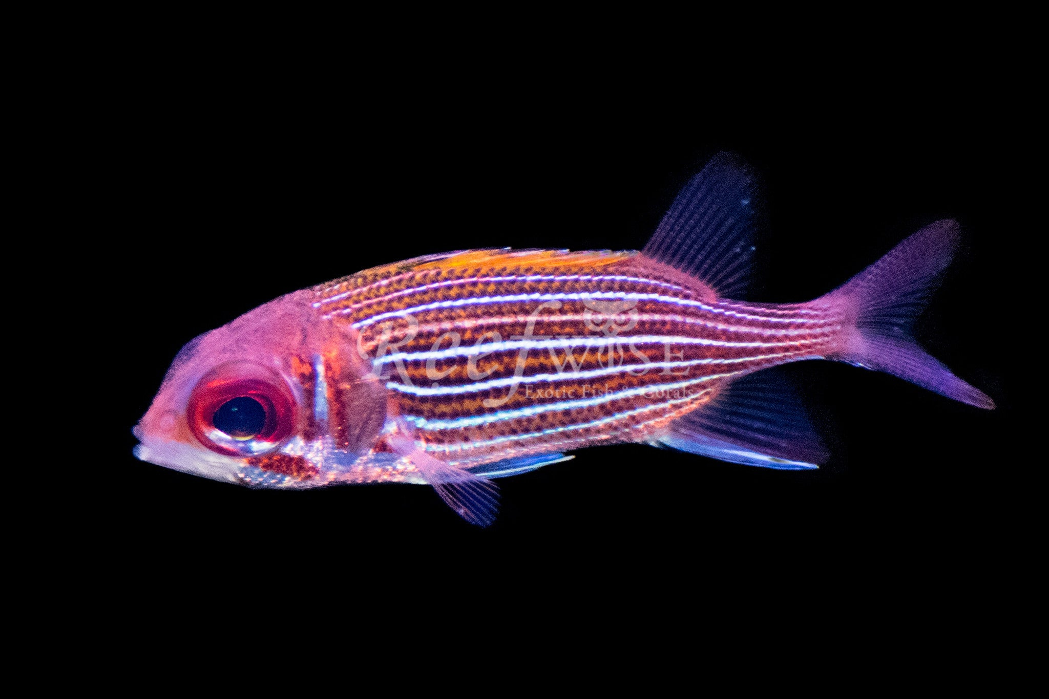 Deepwater Squirrelfish WYSIWYG