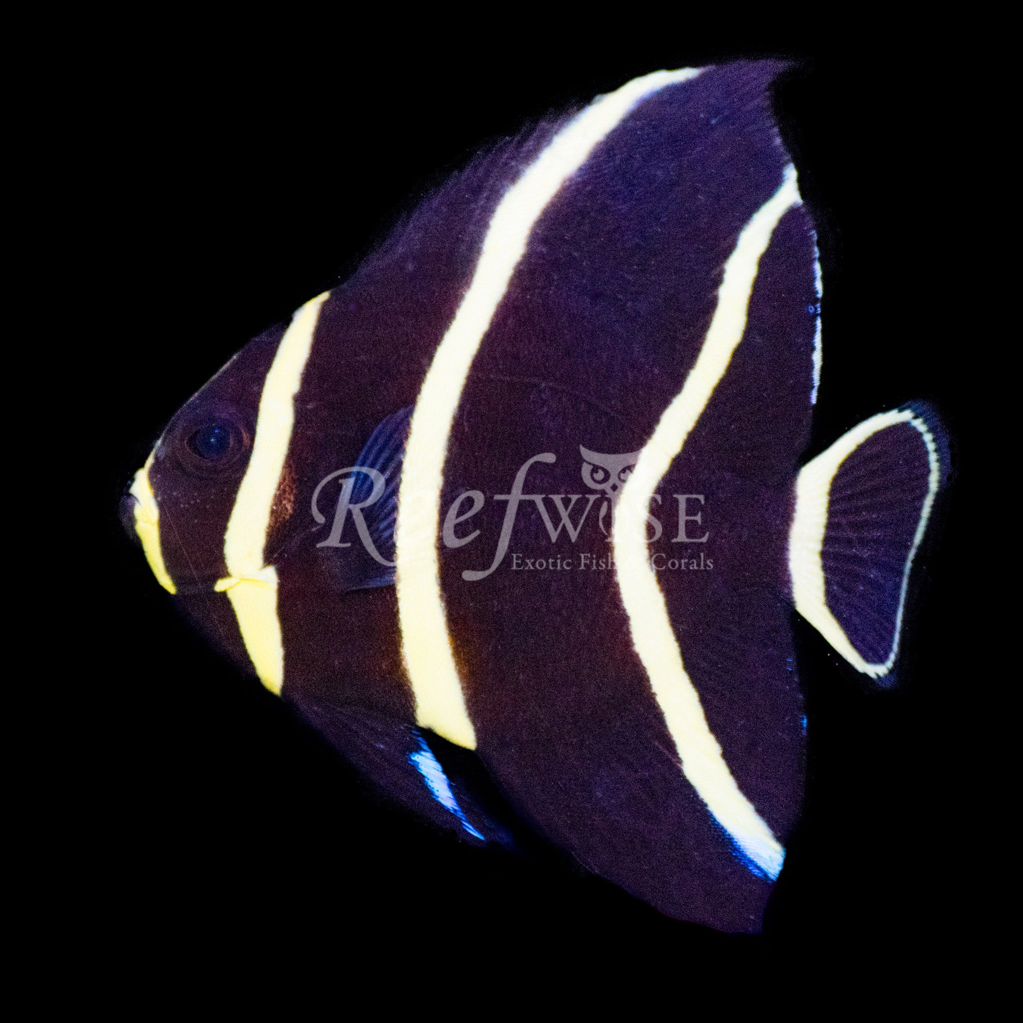 French Angelfish WYSIWYG