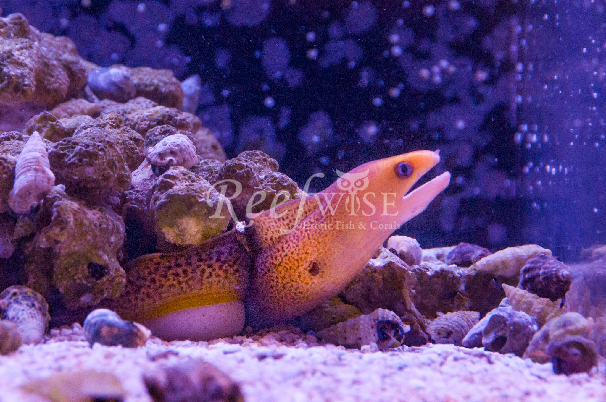 Golden Dwarf Moray Eel