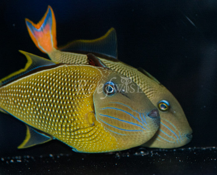 Crosshatch Triggerfish (Pair) - Reefwise
