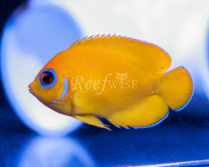 Lemonpeel Angelfish - Reefwise