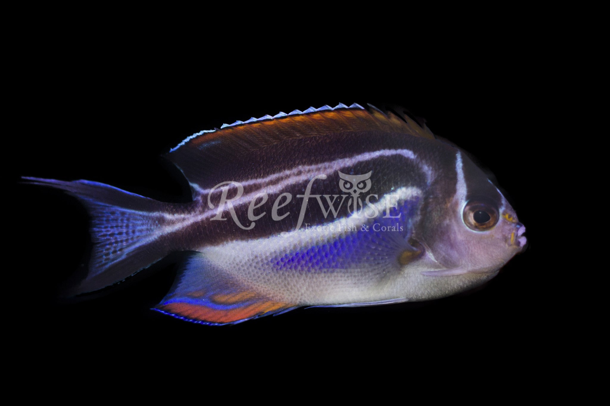 Bellus Angelfish (Female)