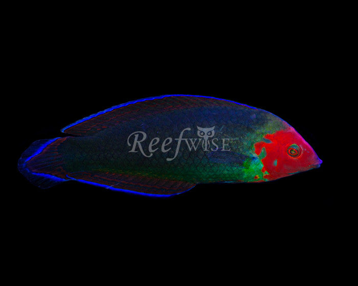 Red Head Wrasse - Male - Reefwise