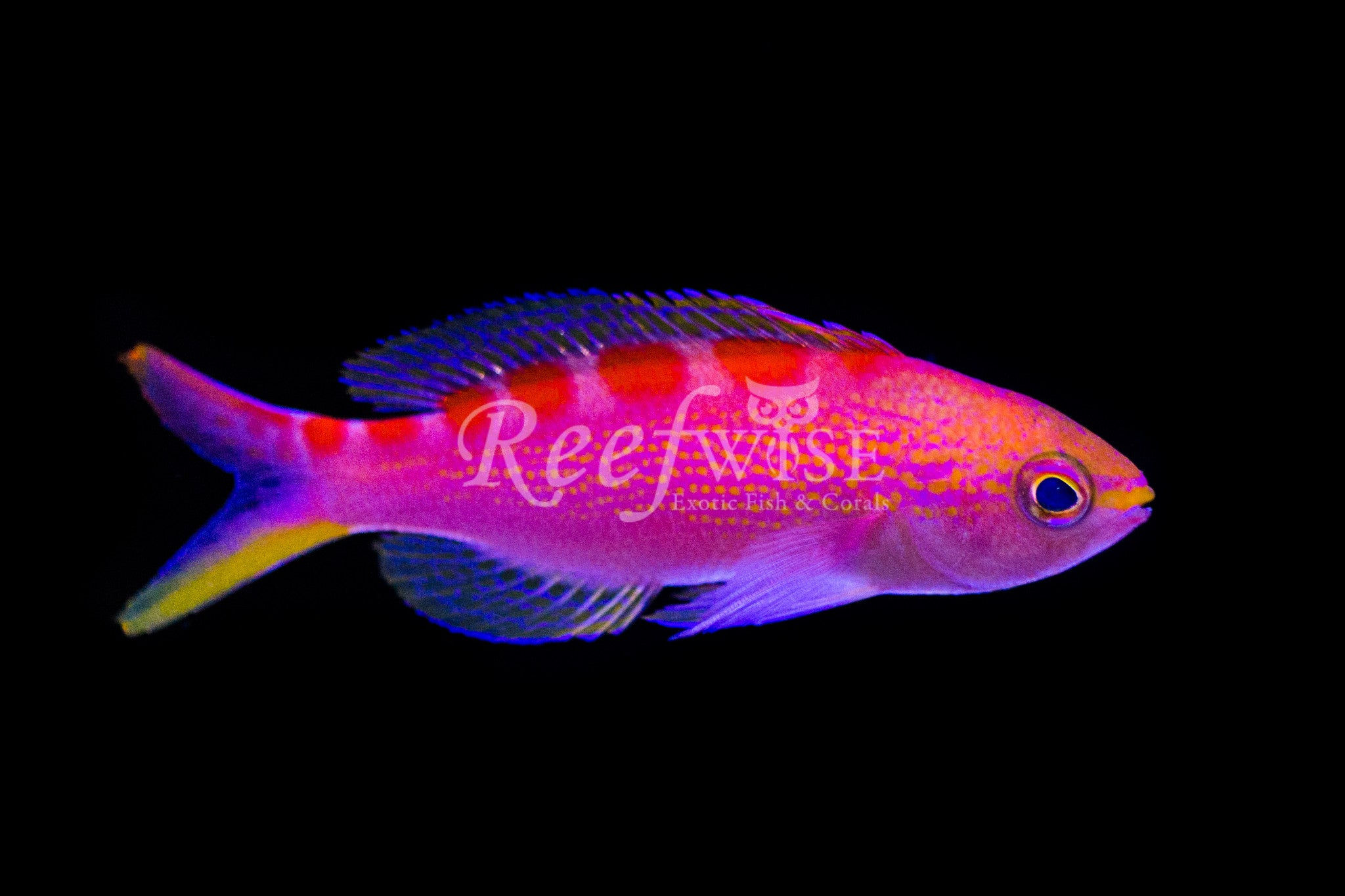 Flavoguttatus Red Saddle Anthias