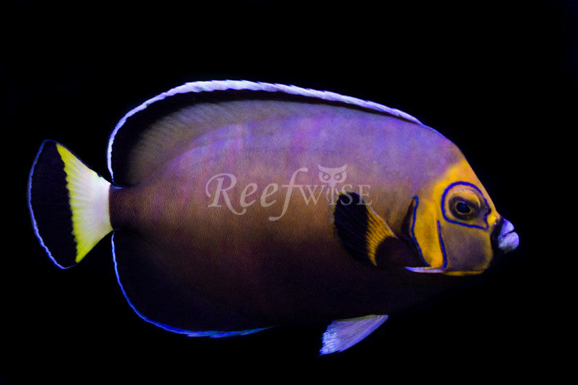 Conspicuous Angelfish - Reefwise