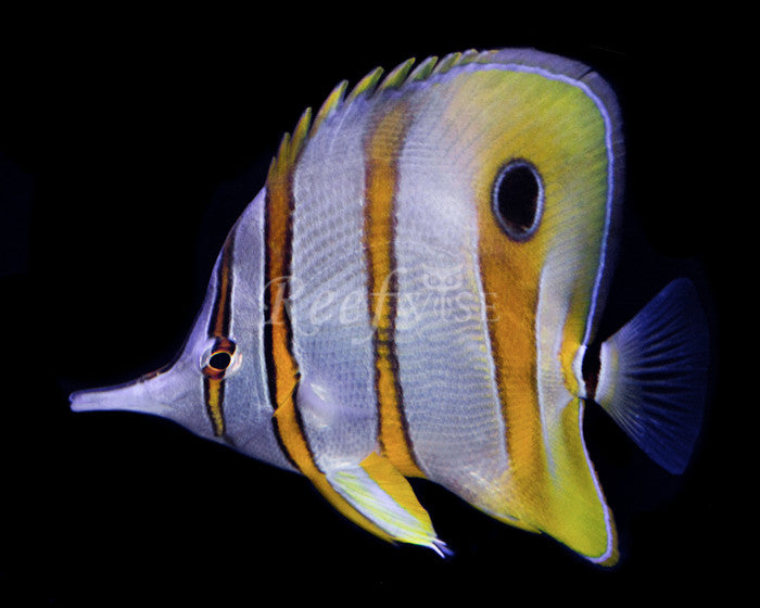 Aussie Copperband Butterfly - Reefwise