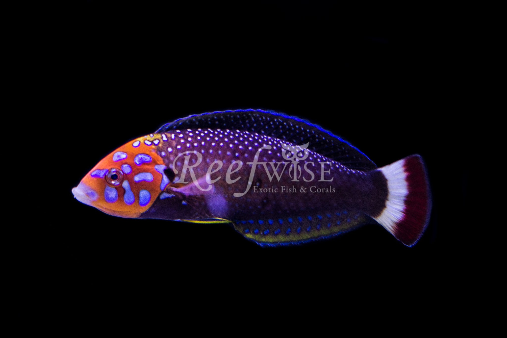 Psych Head Tamarin Wrasse Male