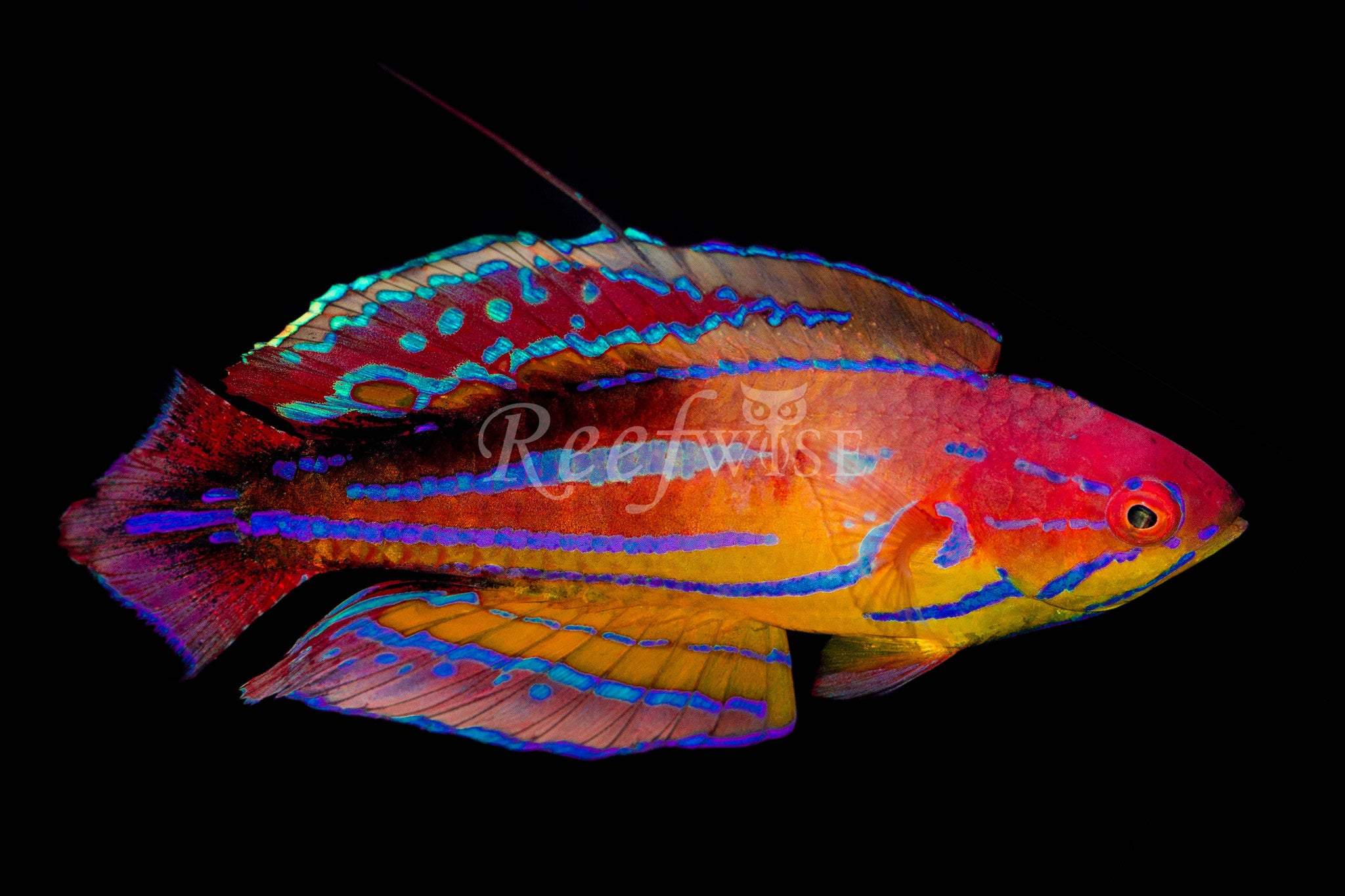 Diamond Tail Flasher Wrasse - Reefwise
