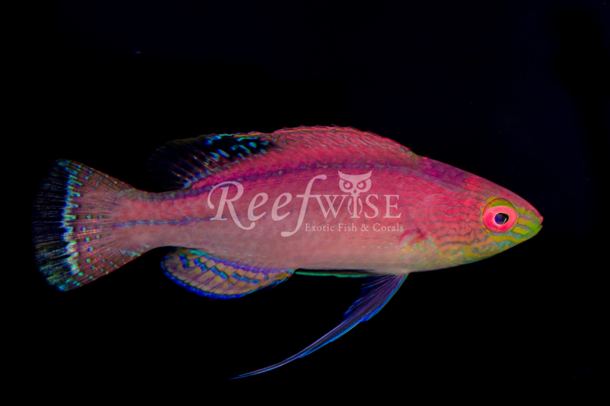 Pylei Fairy Wrasse Black Tail
