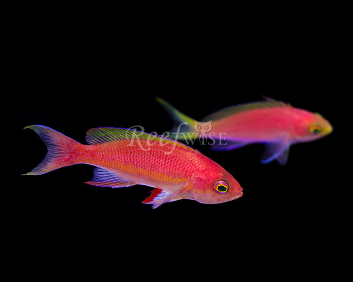 Resplendent Anthias Pair - Reefwise