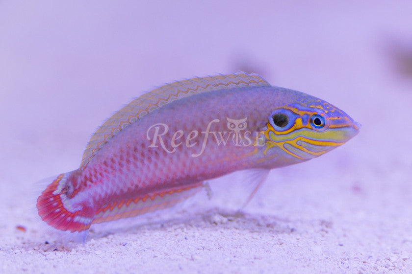 Earmuff Wrasse (Transitioning) - Reefwise