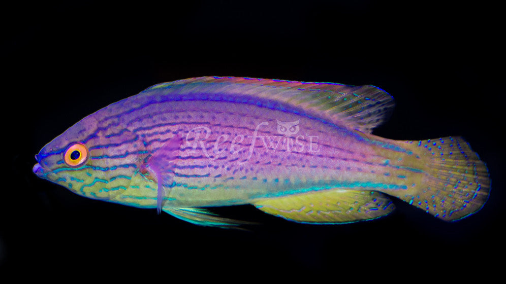 Lineatus Fairy Wrasse (Dominant Male) - Reefwise