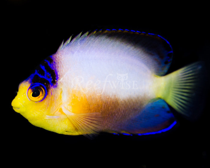 Multicolor Angelfish - Reefwise