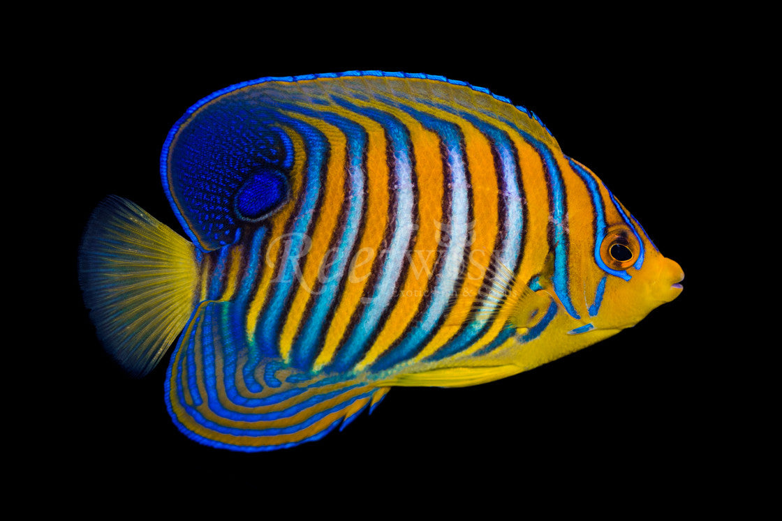 Orange Regal Angelfish