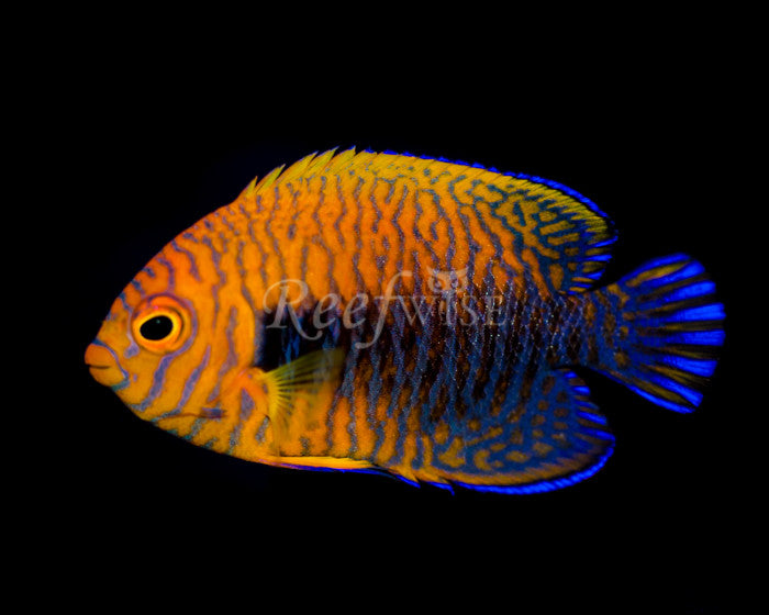 Potters Angelfish - Reefwise