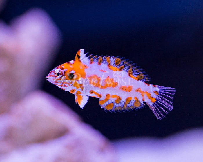 Chaoti Leopard Wrasse - Reefwise