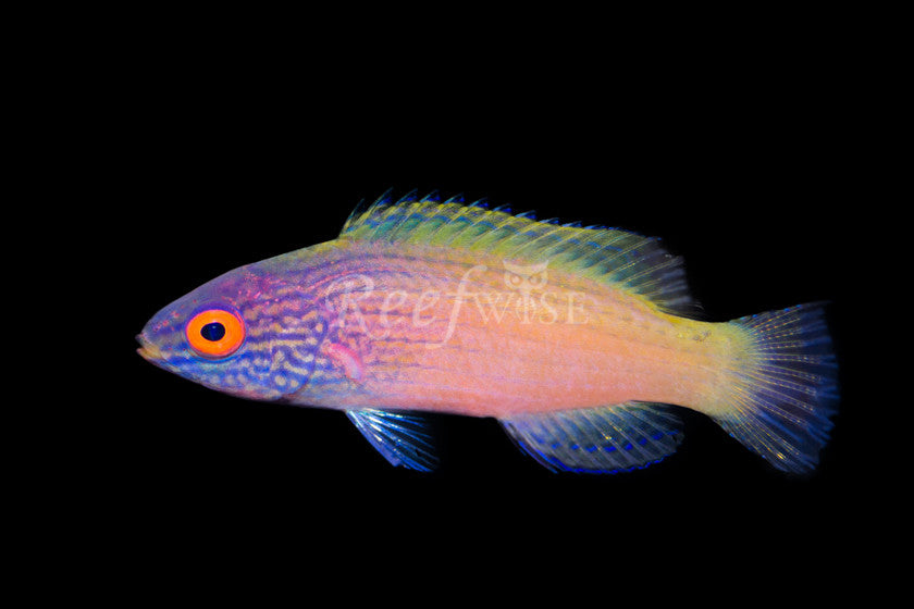 Rhomboid Fairy Wrasse (Female) - Reefwise