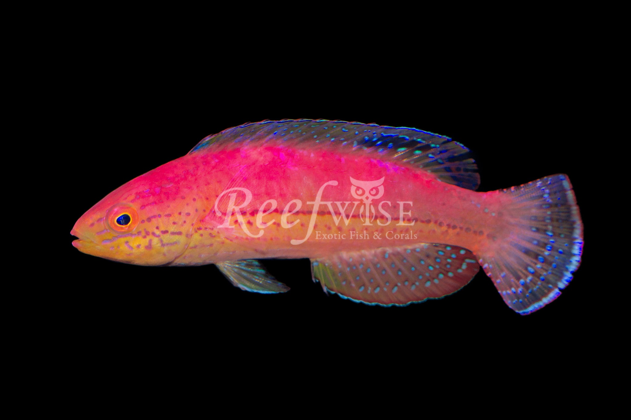 Katoi Fairy Wrasse Male