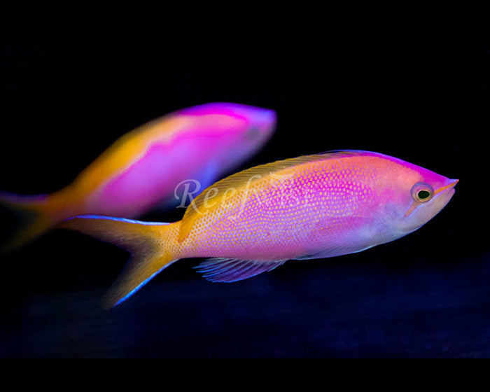 Bartlett's Anthias - Reefwise