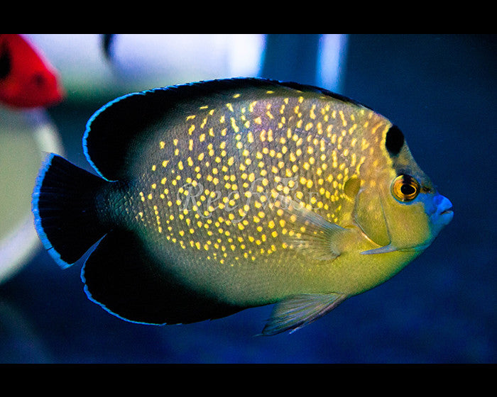 Goldflake Angelfish - Reefwise
