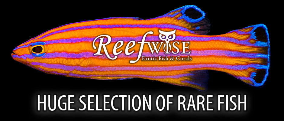 https://reefwisesales.com/collections/fish-1