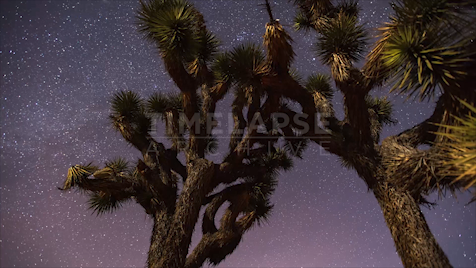 Time-lapse Joshua Tree: Trees Under Night Sky